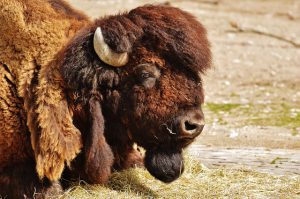 Der Bison beeindruckt durch Masse und Bart
