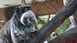 Der Kaiserschnurrbarttamarin beeindruckt mit Menge, Länge und Wuchs des Bartes