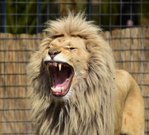 Der Löwe ist der unangefochtene König der bärtigen Tiere und verbindet Haupt- und Barthaar gekonnt zu einer beeindruckenden Mähne