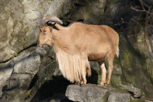 Der Mähnenspringer definiert den Begriff Ziegenbart völlig neu und verweist andere Ziegenartige auf die hinteren Ränge